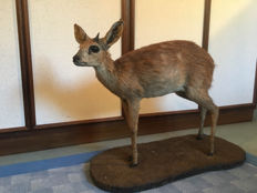 Fine taxidermy - African Cape, or Southern Grysbok - full mount - Raphicerus melanotis - 60 x 45cm