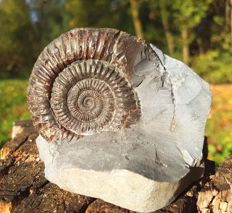 Nice Dactylioceras ammonite on half concretion - 80 x 66 mm - 340 g