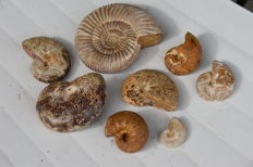 Lot of ammonites from the Oxfordian of Madagascar - 650 g - with mother-of-pearl (8)