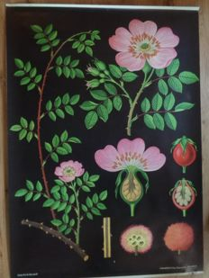 "Three beautiful botanical school posters of ""The wild rose, Dandelion, Grape"""