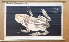 Roll-up school poster Frog skeleton