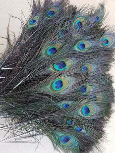 Large set of Blue Peacock tail feathers - Pavo cristatus - 25cm  (100)
