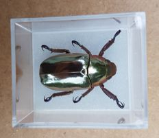 Silver Scarab Beetle, in display case - Chrysina chrysargirea - 3 x 4cm