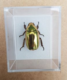 Unusual Golden Scarab Beetle, in display case - Chrysina resplendens - 3 x 4cm