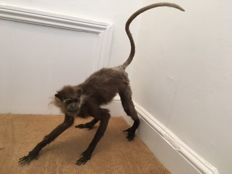Fine taxidermy - Purple-faced Langur, aka Purple-faced Leaf Monkey, free-standing - Trachypithecus vetulus - 60 x 22 x 60cm - 1800gm