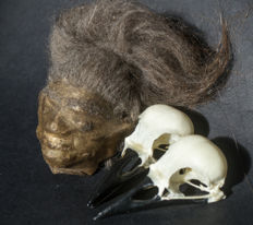 Collection of Jivaro Juju Totems - replica Shrunken Head, with Crow skulls - Corvidae - 230gm  (3)