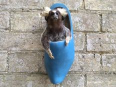 Fun taxidermy - Common Marmoset, set into a large, wall-mounted Dutch clog - Callithrix jacchus - 27 x 10cm - 540gm