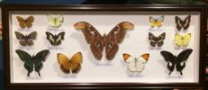 Fine collection of exotic Butterflies, with Atlas Moth - various named species - 76 x 31cm