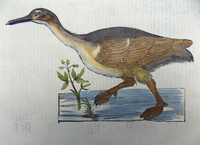 Ulisse Aldrovandi (1522 – 1605) - fine large hand colored woodcuts - Birds: Waterbird, Loon, Diver - 1637