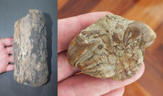 Two fossils: Harpactoxanthopsis quadrilobata Crab - 5,9 cm and Woolly Mammoth Mammuthus primigenius Tusk - 18 cm (2)