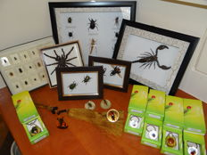 Interesting and varied Entomology Lot - specimens in Lucite, framed specimens - 3.5 to 18cm  (37)