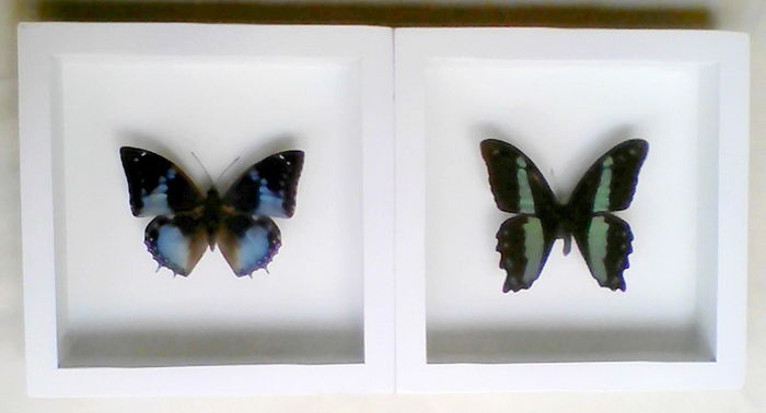 Pair of white-framed Exotic Butterflies - Papilio sp. - 17 x 17cm (2 ...