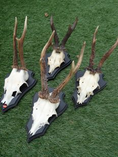 Collection of antique Roebuck Trophies on shields - Capreolus capreolus - 12 x 20cm  (4)