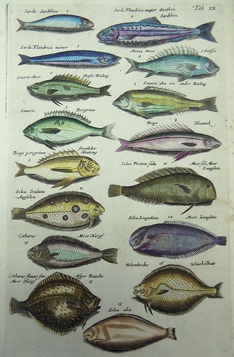 Matthäus Merian ( 1621 –1687) - hand colored copper engraving - Ichthyology: Sardine, Pickerel, Sole, Flatfish, Flounder - 1657