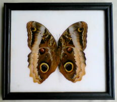 Large Placid Giant Owl Butterfly, female, in black frame -  Caligo placidianus - 20 x 17cm