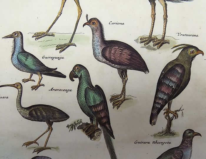Matthäus Merian ( 1621 –1687) - hand colored copper engraving - Ornithology: Exotic South American Birds, Parrots - 1657