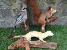 Vintage taxidermy collection - Stoat, Eurasian Jay and Red Squirrel - Mustela, Garrulus and Sciurus - 20 to 44cm  (3)
