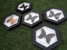 Exotic Butterfly displays - 6-sided frames - various Papilio sp. - 17.5 x 20cm  (5)