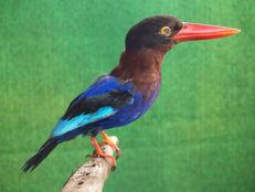 Taxidermy - Javan Kingfisher - Halcyon cyanoventris - 25cm