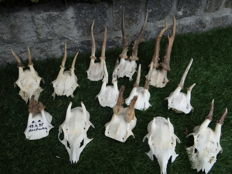 Lot comprising various vintage Roebuck part skulls, some with horns in velvet - Capreolus capreolus - 7 to 12cm (13)