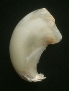 African Lion Claw - Panthera leo - 6.6cm