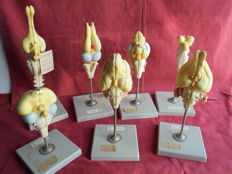 Dictatisch Zoological school models - Somso West Germany-ca 1960