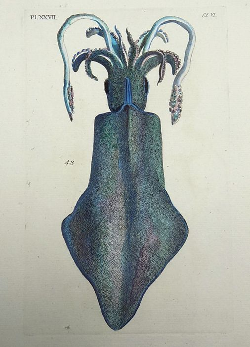 Thomas Pennant (1726-1798) - Great Cuttle Fish - 1768
