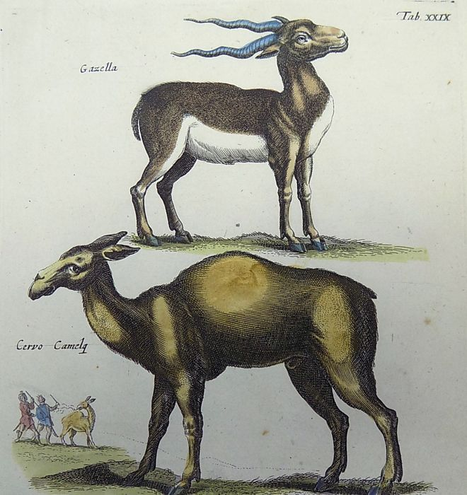 Mammals - folio engraving  - Matthäus Merian (1621 – 1687) - Mammals: Gazelle, Roe Deer, Even Toes Ungulate - 1657