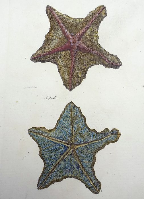 Thomas Pennant (1726-1798) - Star Fish, Asterias [ Asteriidae ] - fine hand colour - 1768