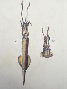 Thomas Pennant (1726-1798) - Middle and Small Cuttle Fish - fine hand colour - 1768