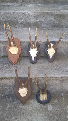Collection of antique and vintage Roebuck Trophies on carved shields - Capreolus capreolus - 17 to 23 cm  (5)