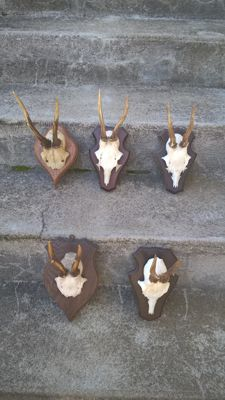 Small collection of vintage German Roebuck Trophies on carved shields - Capreolus capreolus - 13 to 18cm  (5)