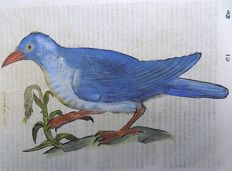 Conrad Gesner (1516-1565) - One leaf with large woodcut - Garrulous Roller - 1669