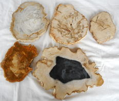 5 polished slices of petrified wood  - 210 x 320 mm - 8.75 kg (5)