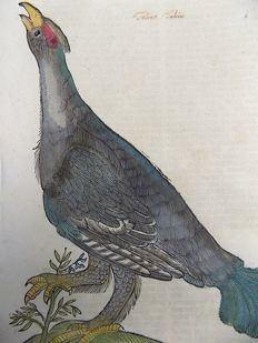 Conrad Gesner (1516-1565) - One leaf with large woodcut - Western Capercaillie - 1669