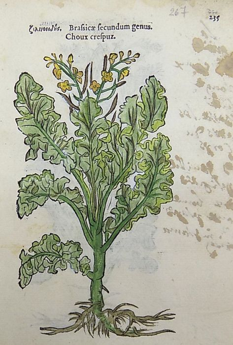 Leonhard Fuchs - Leaf with 2 botanical woodcuts - Brassica [ Mustard ] -  Cabbage [ Brassica oleracea ] - 1549