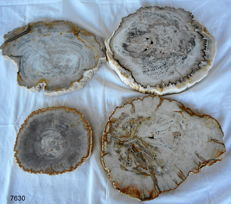 4 beautiful polished slices of petrified wood  - 170 x 285 mm - 8.7 kg (4)