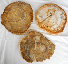 3 slabs of petrified wood (repaired) - 260 to 270 mm - 7.2 kg