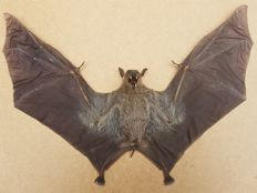 Taxidermy - extra large Cave Nectar Bat, with wings open - Eonycteris spelaea - 30 x 24cm