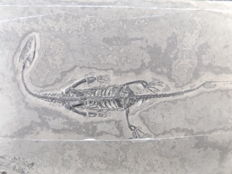 Swimming reptile - Keichousaurus hui - 12.2 cm (15 cm in stretched position)
