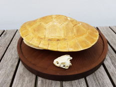 Red-bellied Short-necked Turtle - full carapace, with skull - Euchelymys subglobosa - 17 x 14cm and 4cm  (2)