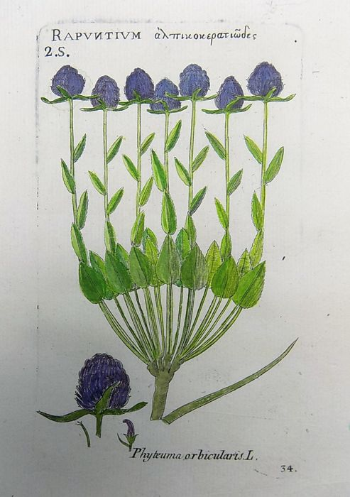 Richer de Bellaval (1564 - 1632) - Botanical print - Rampion [ Phyteuma orbicularis ] - 1598 [1796]