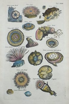 Sealife - Matthäus Merian (1621 – 1687) - Aquatic Shells: Sea Anemones Actinaria Urtica Major - 1657