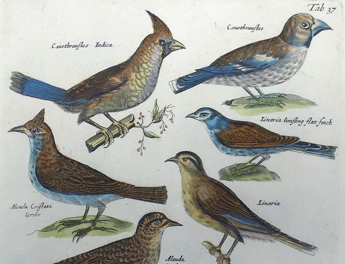 Matthäus Merian (1621 – 1687) - Ornithology, Birds: Crested Lark, Goldfinch, Fieldfare, Ortolan - 1657