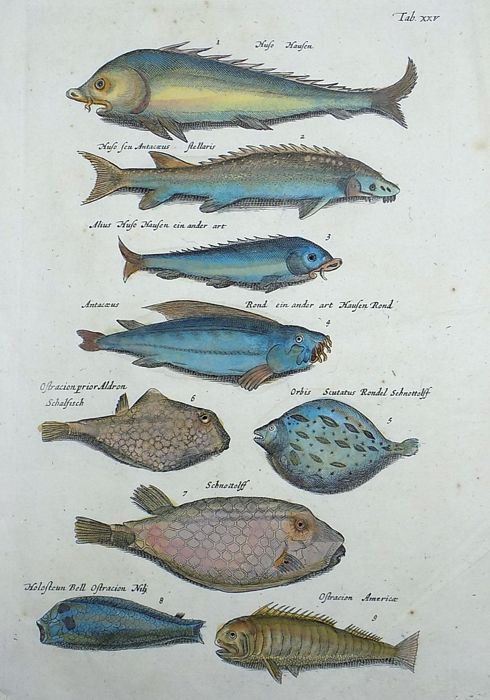 Matthäus Merian ( 1621 –1687) - hand colored copper engraving - Fish: Sturgeon, Boxfish, Lumpsucker - 1657