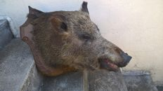 Vintage French Wild Boar head on hand-carved shield - Sus scrofa - 70 x 43 x 50cm