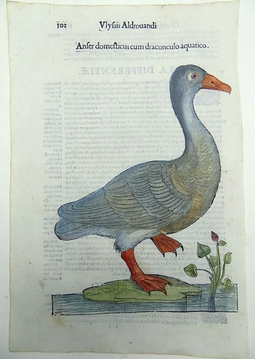 Ulisse Aldrovandi (1522 – 1605) - large hand colored woodcuts - Birds: Goose, Geese [ Anser Domesticus ] - 1637