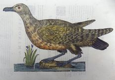Ulisse Aldrovandi (1522 – 1605) - fine large hand colored woodcuts - Birds: South Polar Skua [ Stercorarius maccormicki ] - 1637
