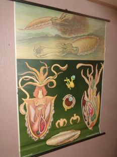 "Old anatomical school poster by Jung Koch Quentell ""Squid"""