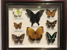 Taxidermy - fine, large Butterfly case - various species - 36 x 31cm